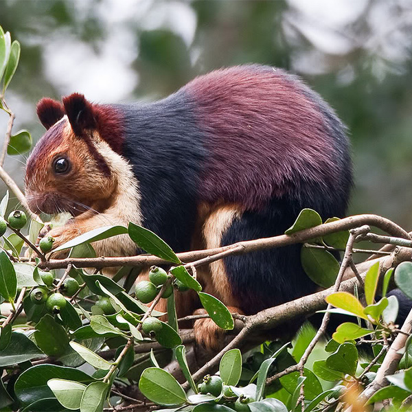 giant-squirrel in chinnar wildlife sanctuary
