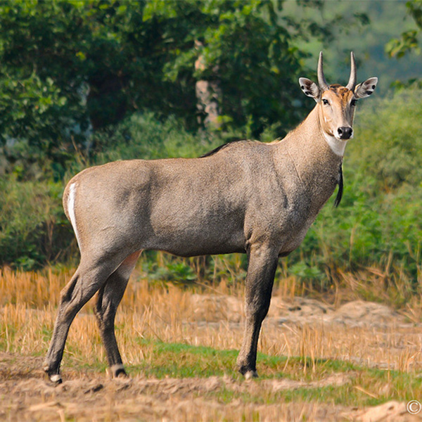 nilgai in jim corbett