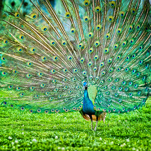 peacock in bharatpur