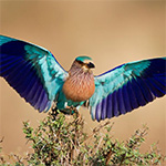 indian roller in bharatpur