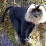Lion Tail Macaque