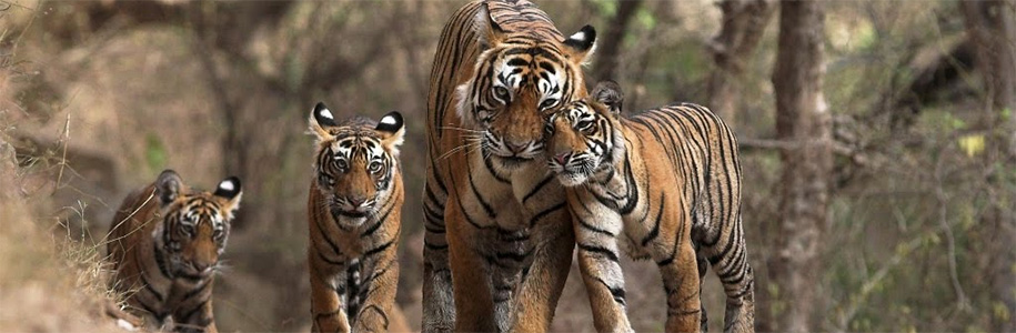 tiger reserve in india
