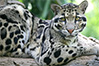 indian clouded leopard